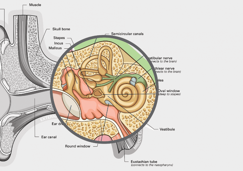 Close-up infographic of the inside of an ear with labeled parts